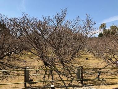 仁和寺 御室桜 つぼみふくらむ