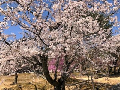 仁和寺 桜とツツジの花が咲く