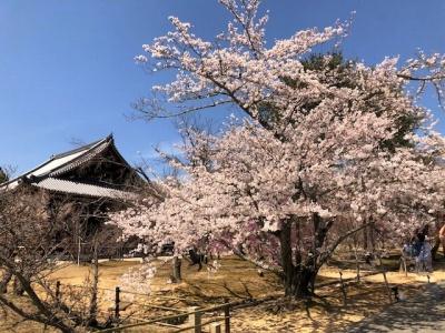仁和寺の桜が満開