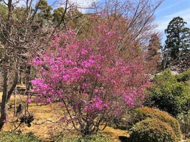 仁和寺境内に咲いているツツジの花