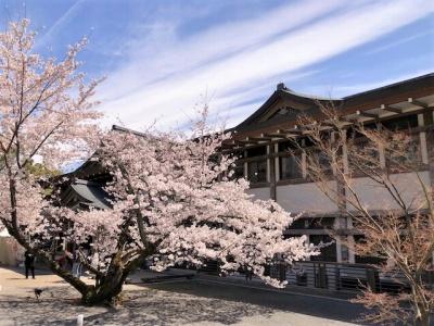 仁和寺境内に咲いている満開の桜