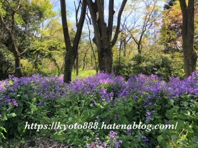 京都府立植物園 4月 紫の花畑