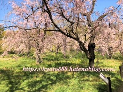 京都府立植物園 4月中旬に咲く枝垂れ桜