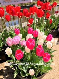京都府立植物園 チューリップの鉢植え