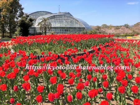 赤いチューリップ畑と京都府立植物園の温室