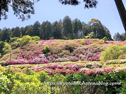 三室戸寺にたくさん咲いているツツジの花