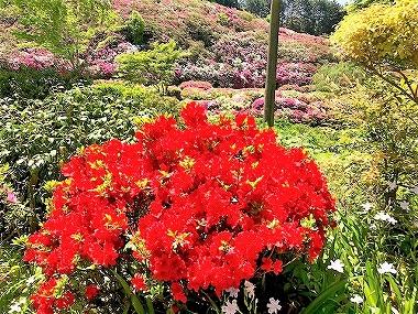三室戸寺に咲いていた真っ赤なツツジ