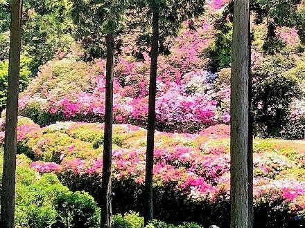 三室戸寺の美しいツツジ
