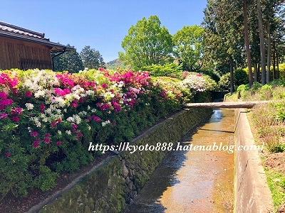 三室戸寺 境内の川の横に咲く「つつじの花」