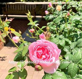 神戸布引ハーブ園 ピンクの薔薇の花