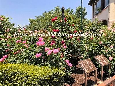 神戸布引ハーブ園 ローズシンフォニーガーデンの美しいバラ
