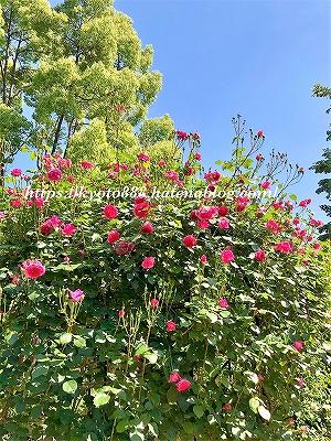神戸布引ハーブ園 赤い薔薇(バラ)