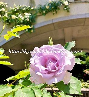 神戸布引ハーブ園 薄紫の薔薇の花