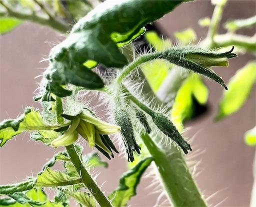 シュガリーテールの花