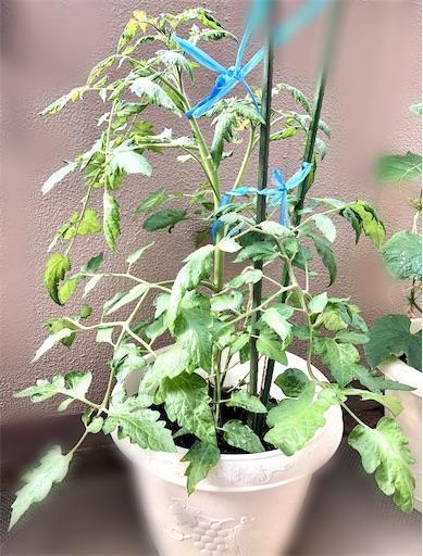 ミニトマト シュガリーテールの栽培。初心者のベランダ菜園