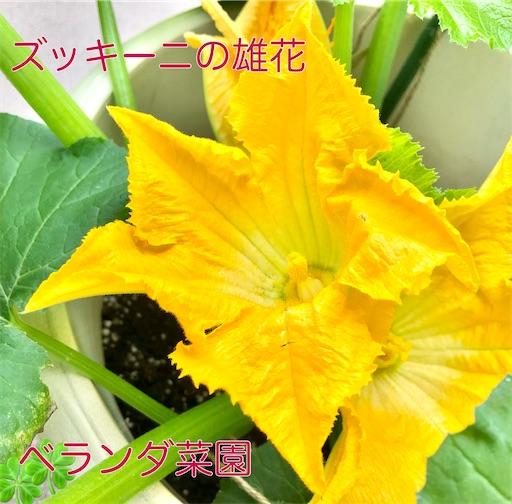 ズッキーニの花 受粉