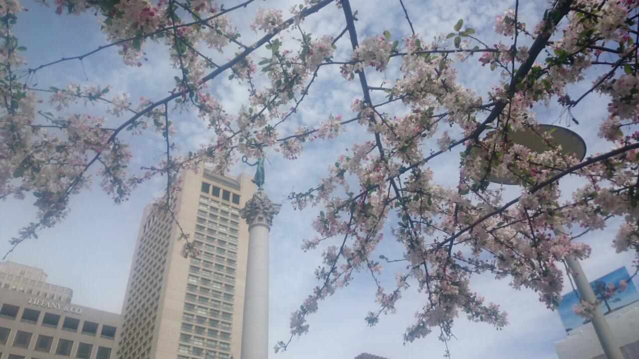 桜きれいなー @ユニオンスクエア
