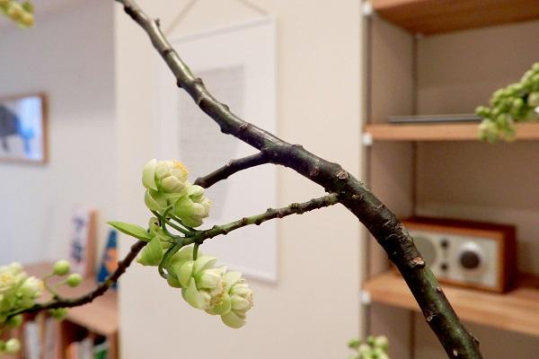 アオモジの枝