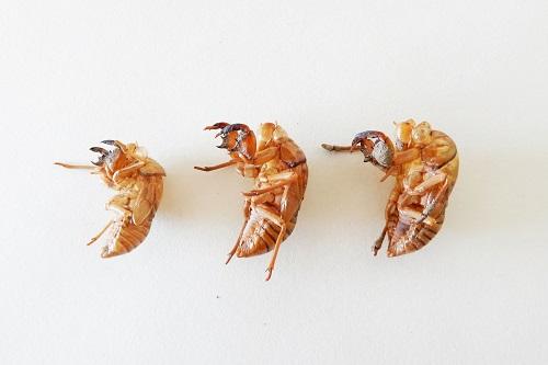 セミの抜け殻3種を比較