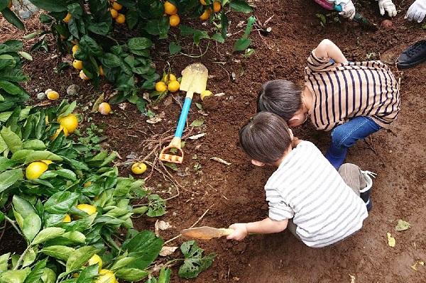 みかん畑でさつまいも掘り