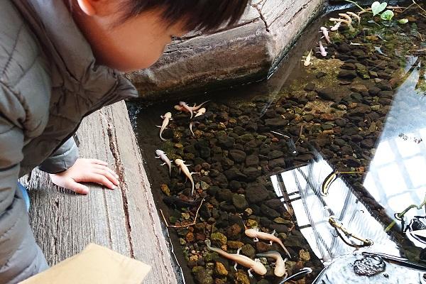 ウーパールーパーの池