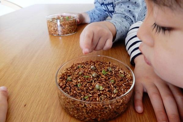 子供とみかんの種を植える