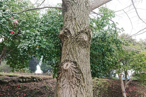 ひょっとこ顔の木の幹