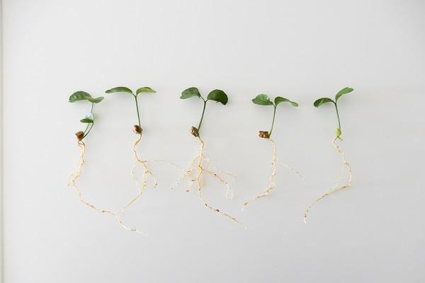 成長したみかんの種