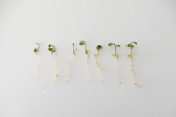 成長不良のみかんの種