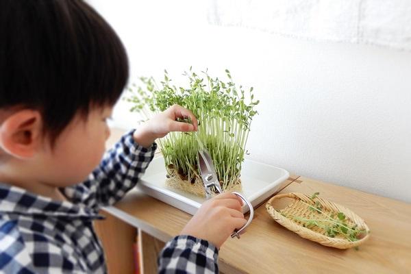 豆苗の再生栽培を収穫