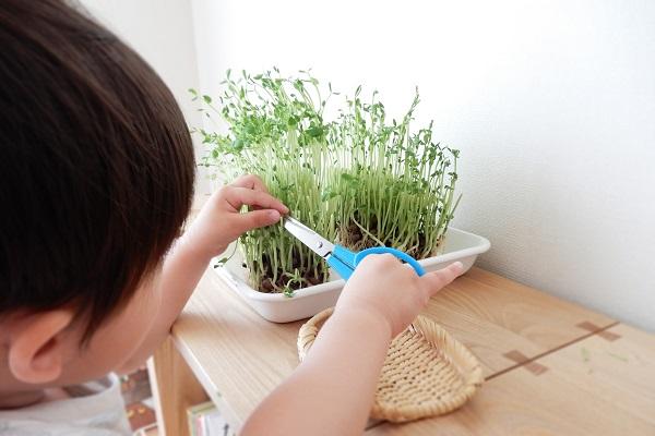 豆苗を収穫する2歳児