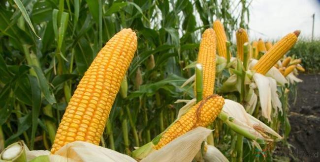 Hasil gambar untuk jagung
