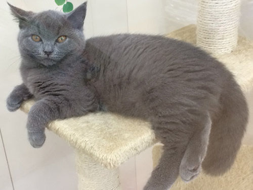 猫 ブリティッシュショートヘアー