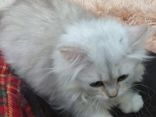 猫 チンチラ
