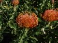 キルステンボッシュ植物園4