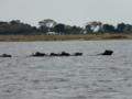 チョベ川を渡るバッファローたち