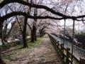 桜並木のトンネル之圖