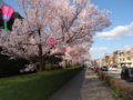 高岡古城公園の桜之圖