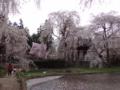 長野県松本市安養寺の桜之圖