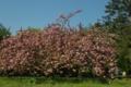 京都新聞写真コンテスト桜の樹の下で