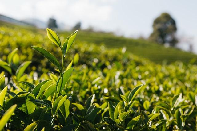 緑茶の健康パワー!健康体で病気に強くなろう