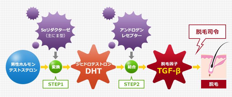 DHTの産生、アンドロゲンレセプターの働き