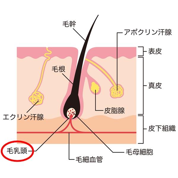 毛乳頭の説明図