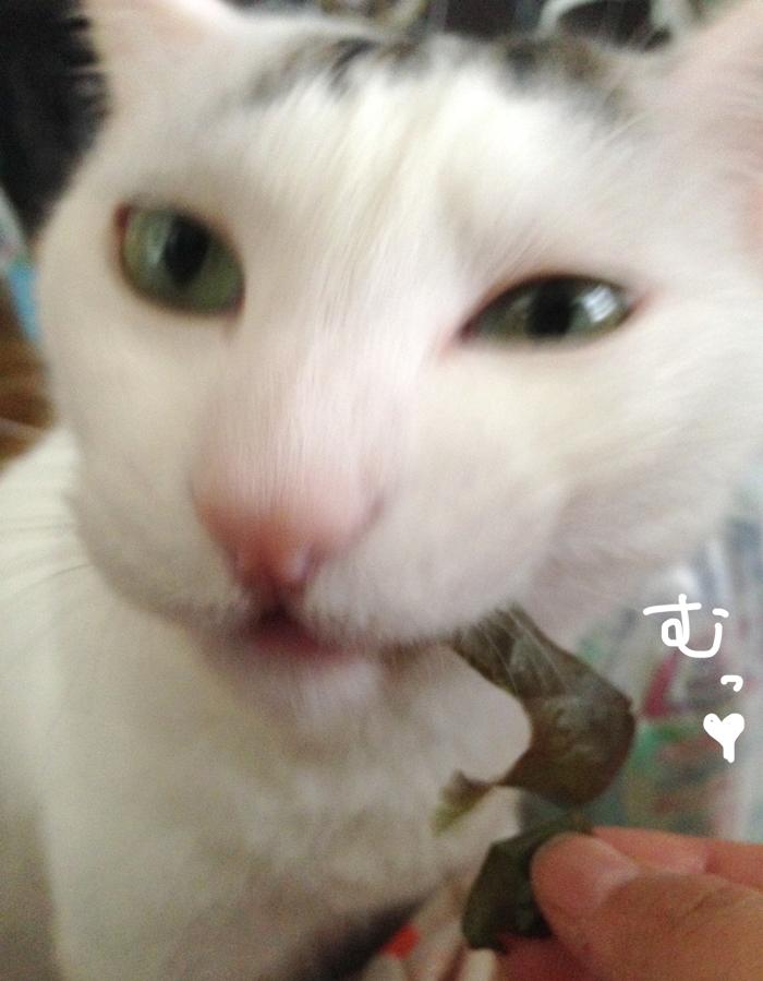 ある物を食べるとヅラネコはマーライオンに変化する!!