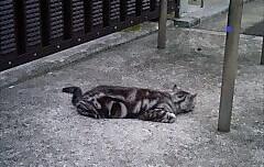 アスファルトの上で寝そべる猫