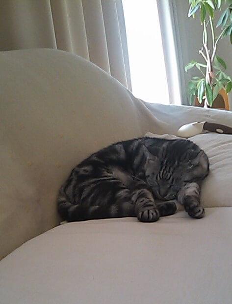 ソファの上で寝る猫