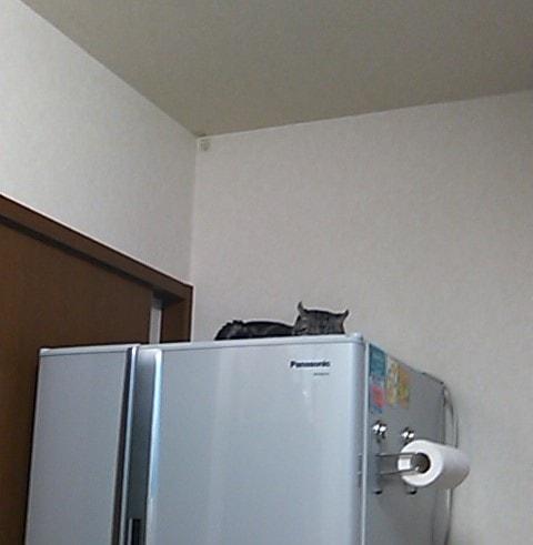 冷蔵庫に乗る猫