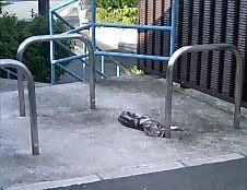アスファルトに寝そべる猫