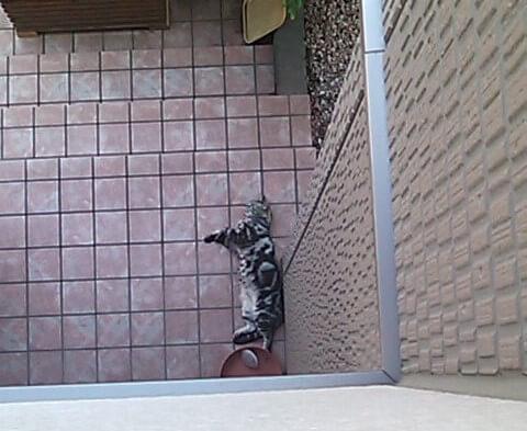 玄関に寝そべる猫