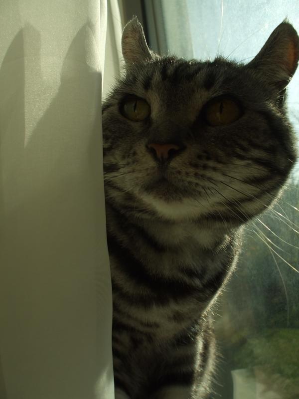 カーテンの裏の猫